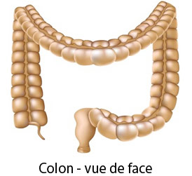 colon vue de face
